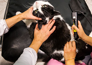 cat-laser-therapy-animal-medical-center-of-austin