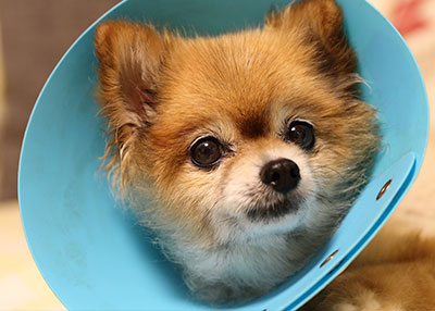 dog-with-cone-animal-medical-center-of-austin